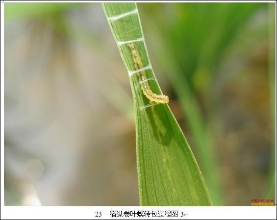稻纵卷叶螟防治