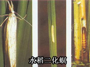 水稻二化螟防治