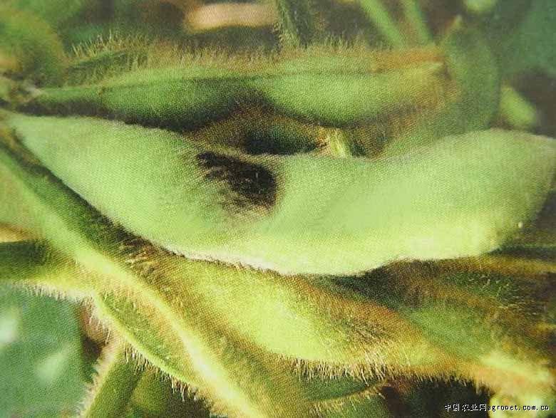 大豆食心虫防治